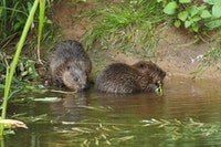 Beavers in the British countryside